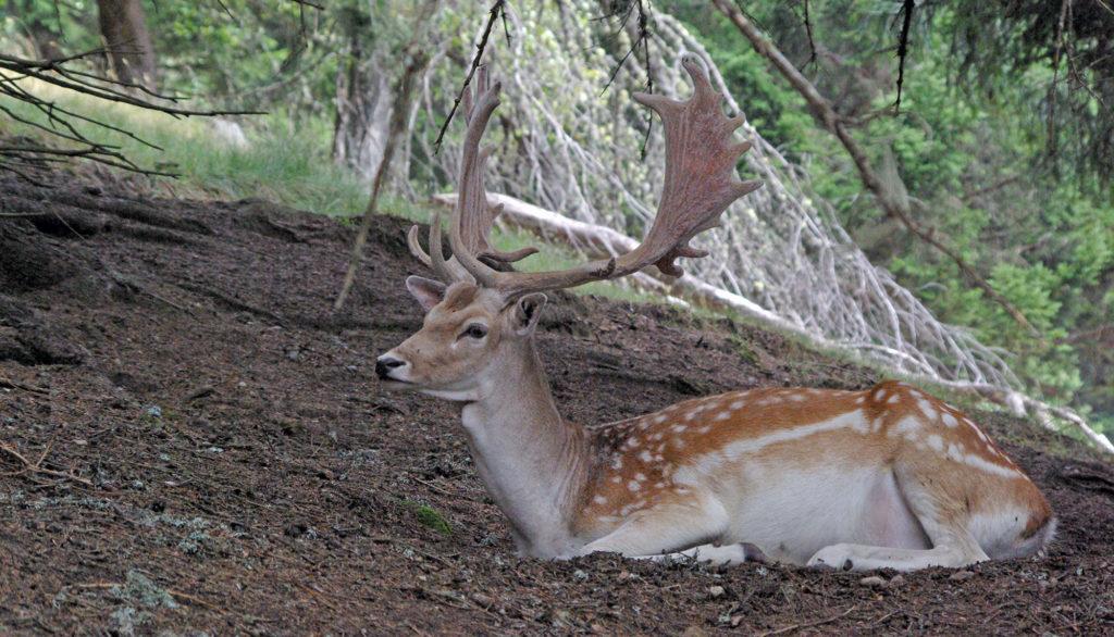 deer lying in the woods Merlet park