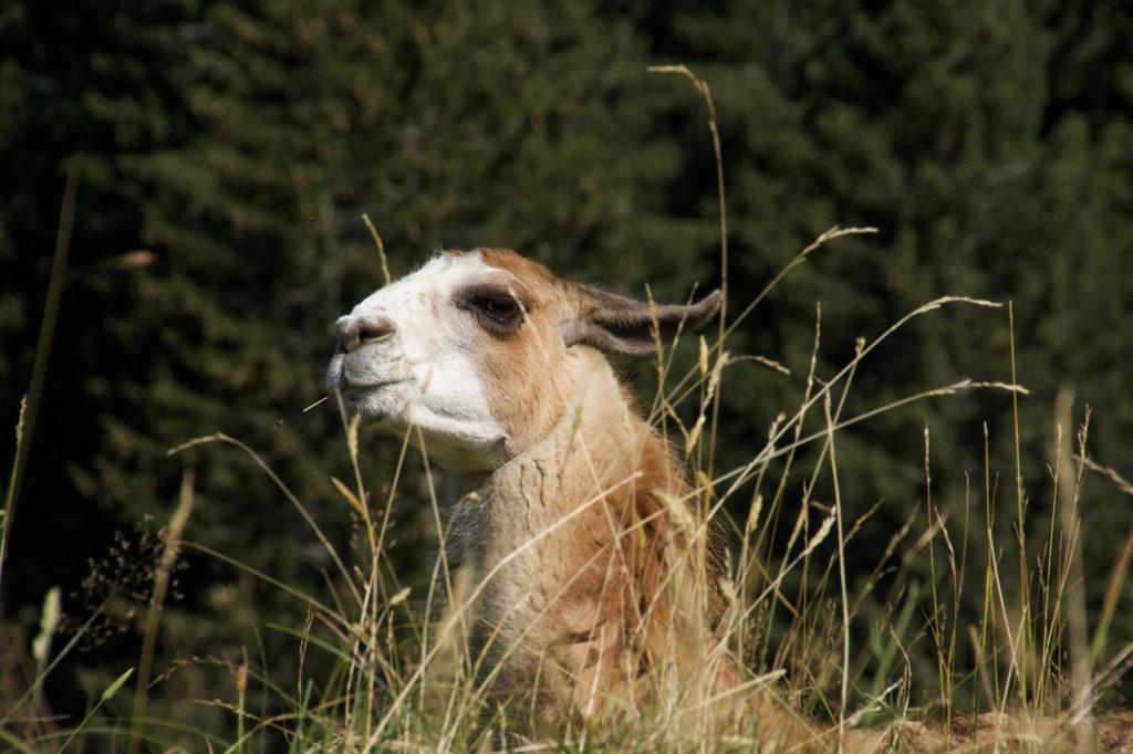 Tête de lama au parc de Merlet