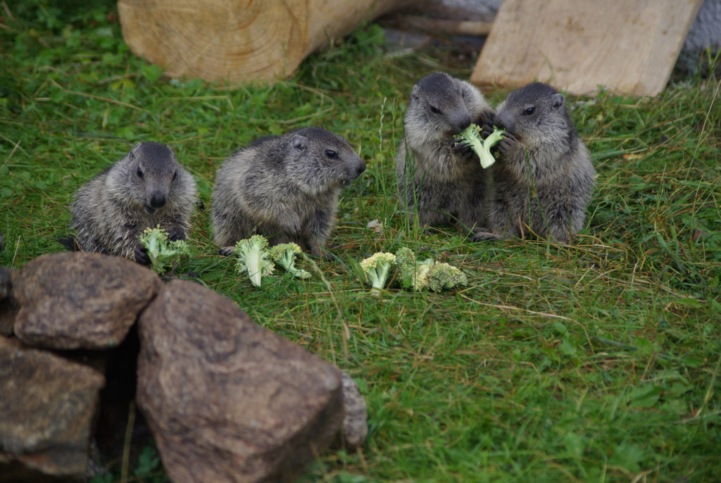 Baby marmotts eating broccoli at Merlet Park