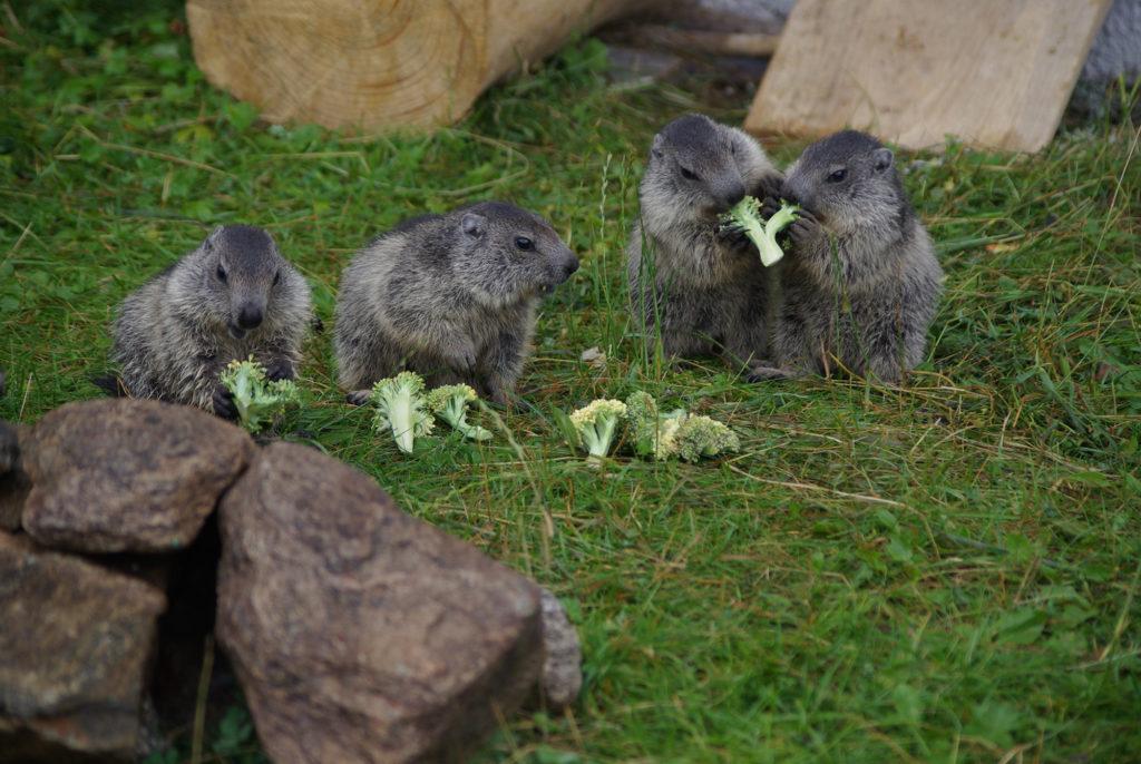 Marmottons mangeant des brocolis au parc de Merlet