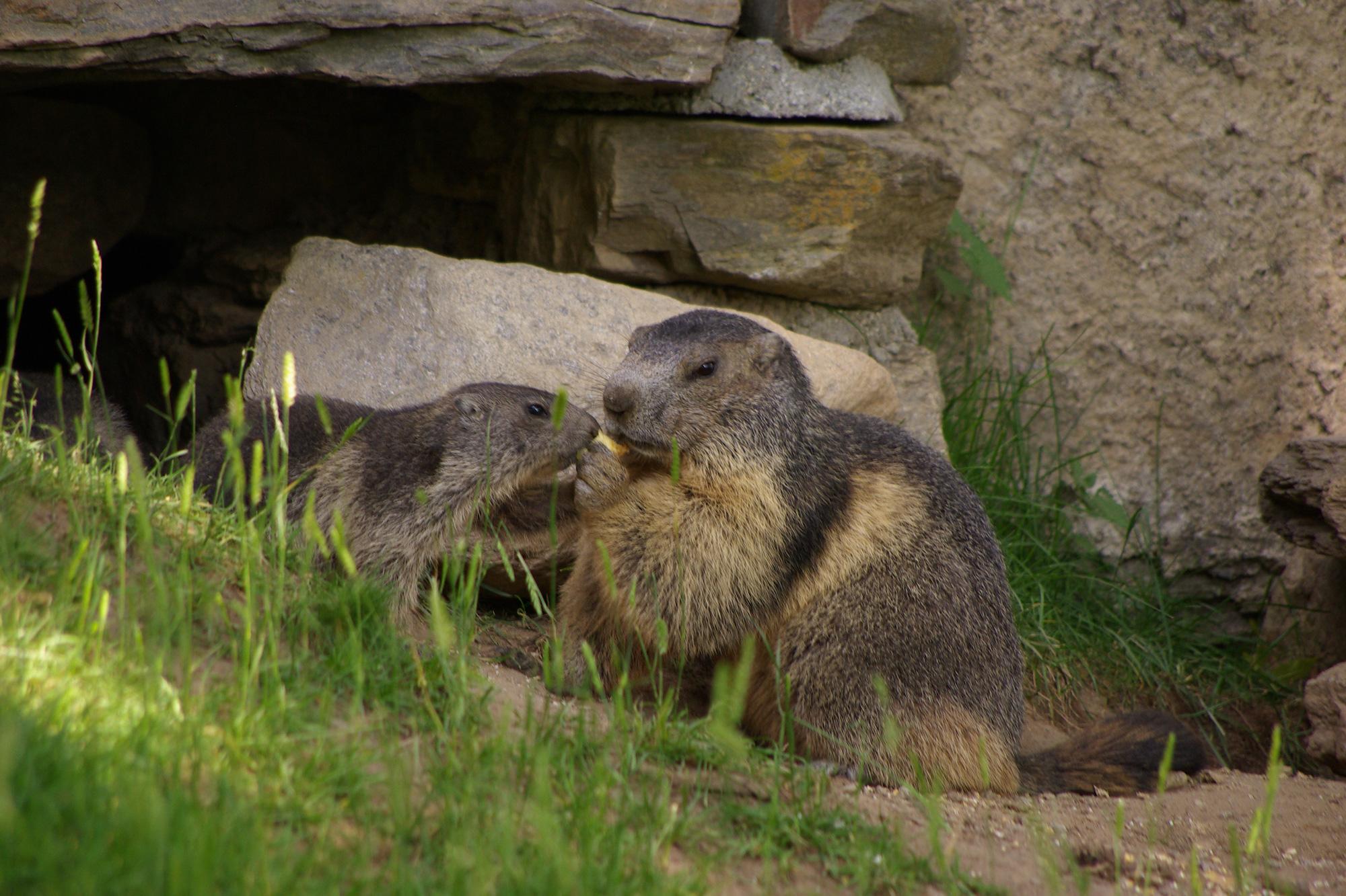 Deux marmottes devant le terrier
