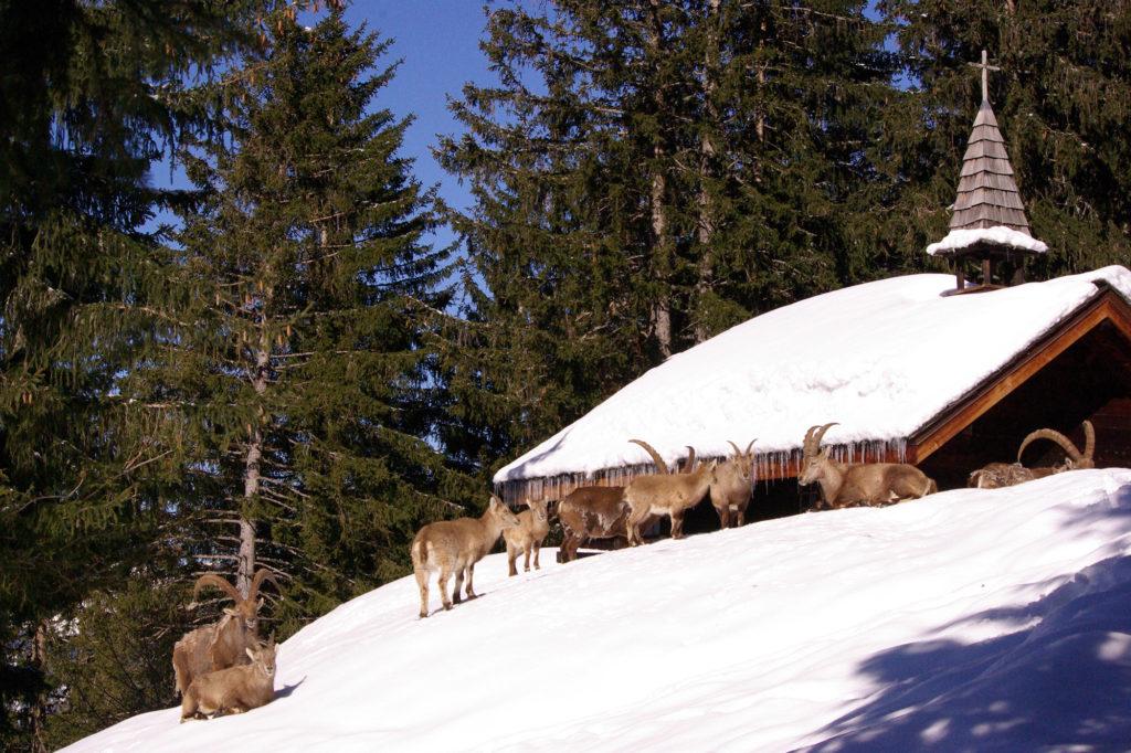 Troupeau de bouquetins dans la neige - Parc de Merlet