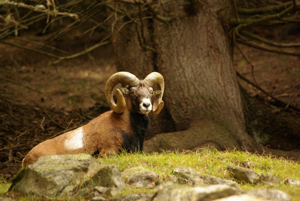 Vieux mouflon dans les bois parc de Merlet