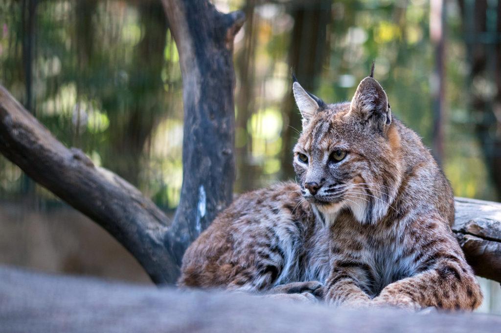 le lynx un predateur au parc de merlet