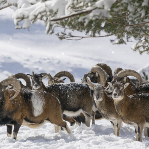 Mouflon herd at Merlet park