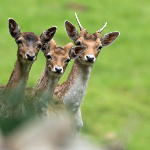 Three deer at Merlet Park
