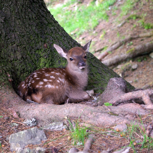Baby deer curled at the bottom of a tree at Merlet Park
