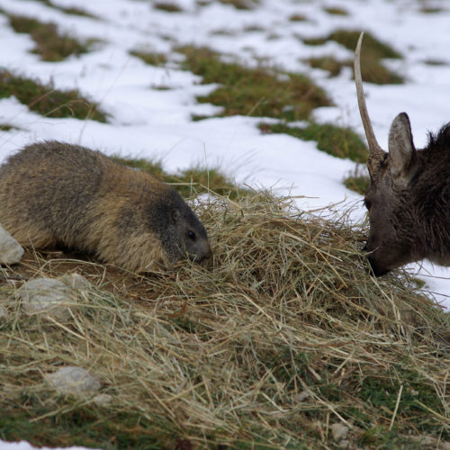 Marmot and deer eating together at Merlet
