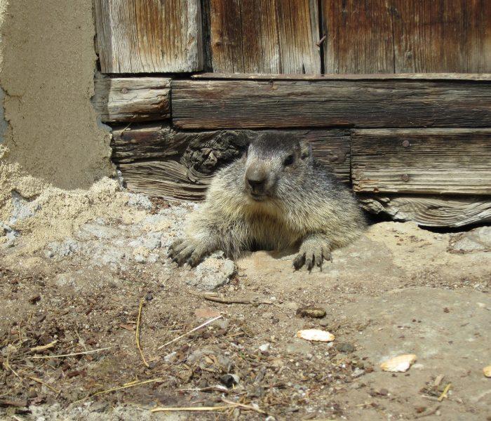 Gros plan sur une marmotte qui sort d'un trou, probablement sous un bâtiment ancien dont on distingue juste le bas d'une porte en bois d'un certain âge. Seules sa tête et ses pattes avant sont sorties.