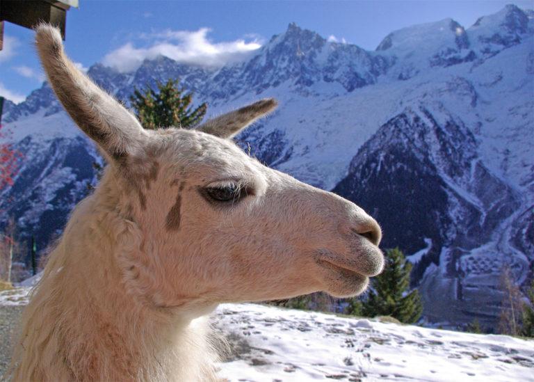Lama dans la neige à Merlet