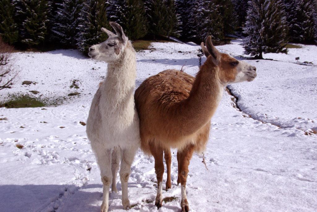 Lamas dans la neige au parc de Merlet