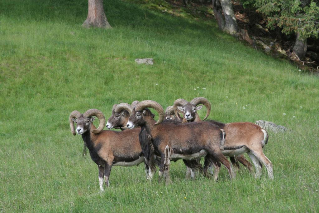 Troupeau de mouflons dans l'herbe verte