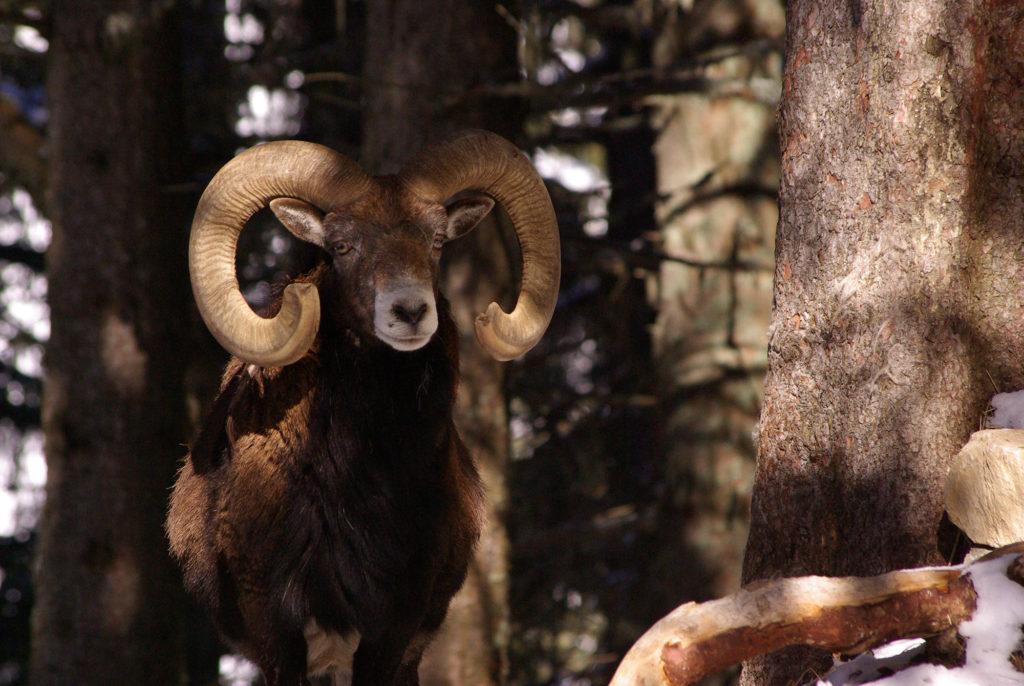 Vieux mouflon sous les arbres parc de Merlet