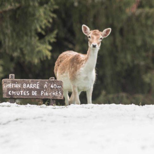 Fallow deer in the snow at Merlet Park