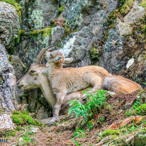 Mother and son ibex at Merlet Park