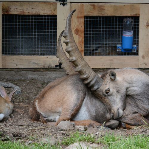 Ibex sitting in front of the rabbit house