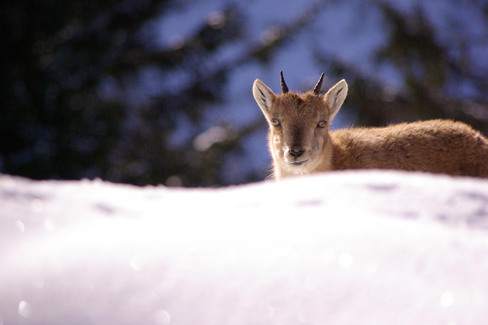 Jeune bouquetin dans la neige à Merlet