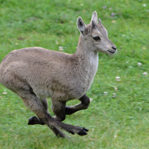 Young ibex running at Merlet Park
