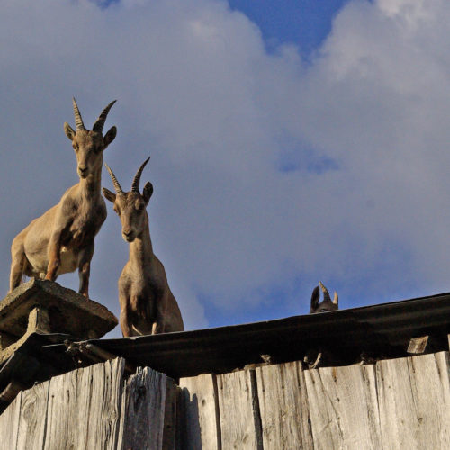 jeunes bouquetins sur le toit de Merlet devant