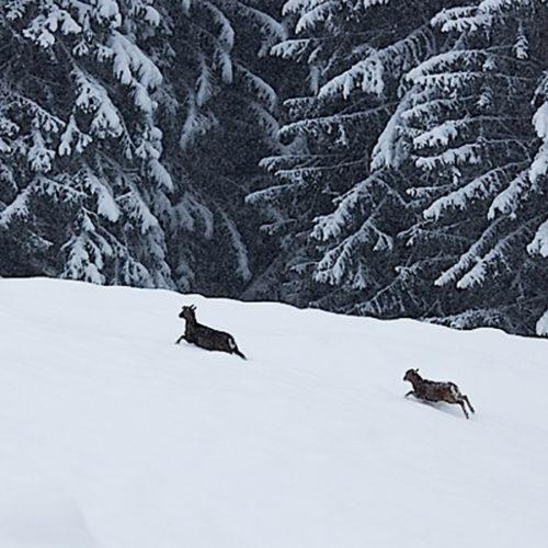 famille de bouquetins dans la neige