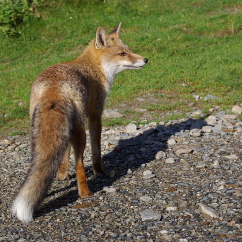 Un renard au parc animalier de Merlet