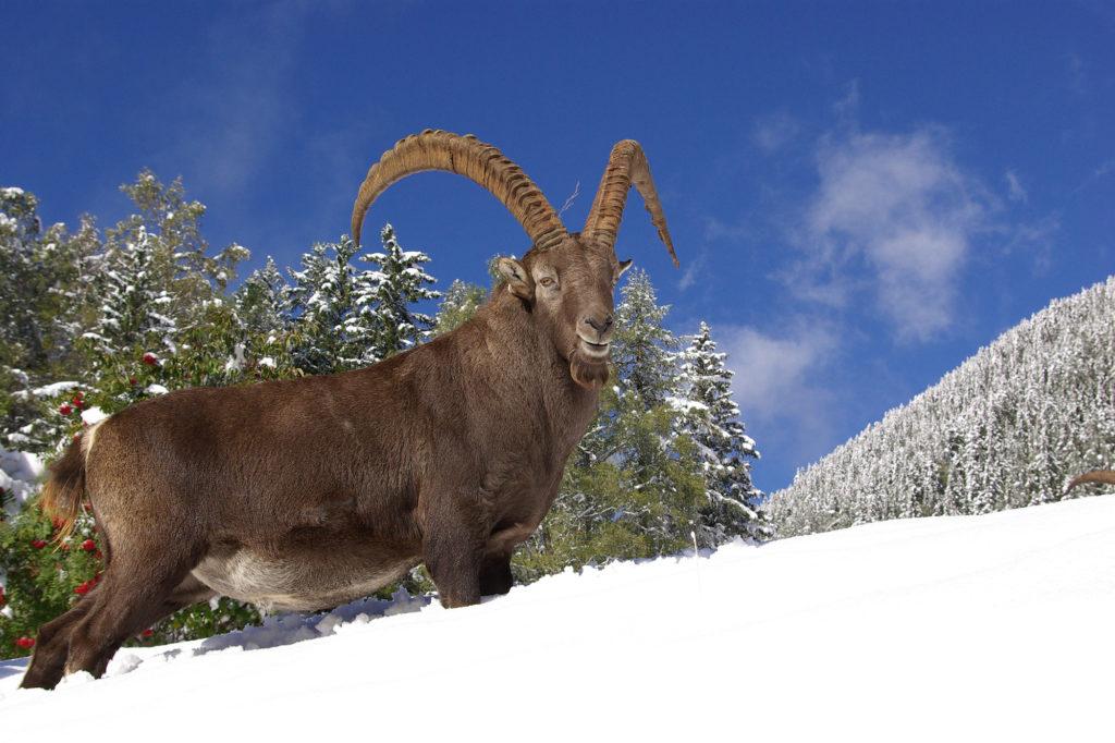 vieux mâle bouquetin dans la neige - Parc de Merlet