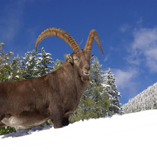 Old ibex male in the snow at Merlet Park